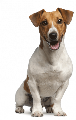 Happy, Healthy and Excited Brown and White Fox Terrier on Isolated Background